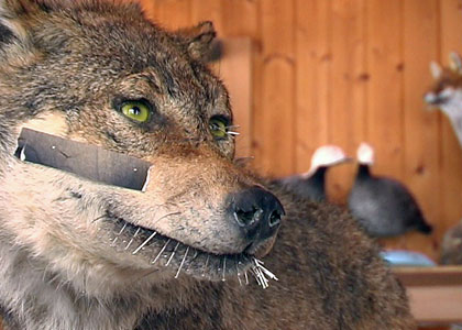 Taxidermie à Vicques (Jura)